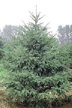 ель  толстоиглая - picea crassifolia