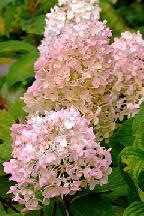 "гортензия  метельчатая  ""САНДИ  ФРЕЙЗ"" - hydrangea  paniculata  <br>""SUNDAE  FRAISE"""