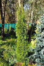 """туя  западная<br>""""ГРИН  РОКЕТ"""" - thuja  occidentalis  """"GREEN  ROCKET"""""""
