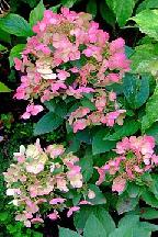 "гортензия  метельчатая  ""СПАРКЛИНГ"" - hydrangea  paniculata  ""SPARKLING"""