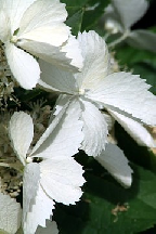 "гортензия  метельчатая  ""УАЙТ  ЛЕДИ""  - hydrangea  paniculata<br>""WHITE  LADY"""