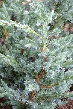 """можжевельник  чешуйчатый<br>""""МЕЙЕРИ"""" - juniperus  squamata    <br>""""MEYERI"""""""