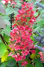"гортензия  метельчатая  ""УИМЗ  РЭД"" - hydrangea  paniculata<br>""WIM""S  RED"""