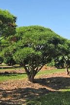 сосна густоцветная<br>(японская красная сосна) - pinus densiflora