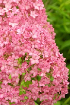 "гортензия  древовидная  ""БЕЛЛА  АННА"" - hydrangea  arborescens  <br>""BELLA  ANNA"""