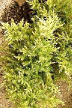 "можжевельник  средний  гибр.<br>""СУЛЬФУР  СПРЕЙ"" - juniperus  х  media    ""SULPHUR  SPRAY"""