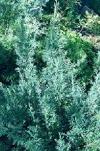 "можжевельник  казацкий<br>""БЛЮ ДОНАУ"" - juniperus  sabina  ""BLUE DONAU"""