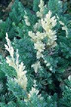 "можжевельник  даурский<br>""АУРЕАВАРИЕГАТА"" - juniperus  davurica  ""AUREAVARIEGATA"""