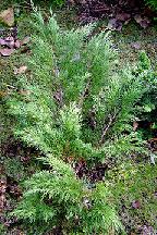 """можжевельник  казацкий<br>""""КАЛГАРИ  КАРПЕТ"""" - juniperus  sabina    """"CALGARI  CARPET"""""""