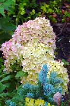 "гортензия  метельчатая  ""ЛИТЛ  ЛАЙМ"" - hydrangea  paniculata<br>""LITTLE  LIME"""