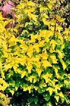 """пузыреплодник  """"ДАРТС  ГОЛД""""  - physocarpus  opulifolius <br>                                   """"DARTS  GOLD"""""""