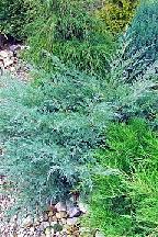 "можжевельник  средний  гибр.<br>""ХЕТСИ"" - juniperus  х   media    ""HETZII"""
