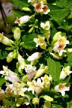 вейгела  Миддендорфа          - weigela  middendorffiana