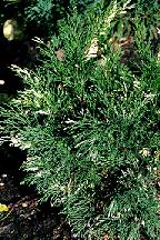 "можжевельник  казацкий<br>""ВАРИЕГАТА"" - juniperus  sabina  ""VARIEGATA"""