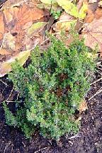 """можжевельник  обыкновенный<br>""""АННА  МАРИЯ"""" - juniperus  communis<br>""""ANNA MARIA"""""""