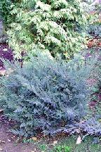 "можжевельник  средний  гибр.<br>""ХОТЦ"" - juniperus  х  media    ""HOTZ"""