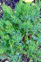 "можжевельник  казацкий<br>""БРОАДМУР"" - juniperus  sabina  ""BROADMOOR"""