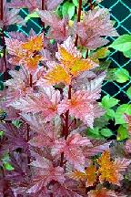"""пузыреплодник  """"ШАХ""""  - physocarpus  opulifolius <br> """"SCHUCH"""""""