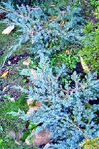 """можжевельник  чешуйчатый<br>""""БЛЮ  КАРПЕТ"""" - juniperus  squamata  <br>""""BLUE  CARPET"""""""