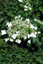 гортензия  черешковая              - hydrangea  petiolaris