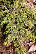 """можжевельник  обыкновенный<br>""""РЕПАНДА"""" - juniperus  communis    """"REPANDA"""""""