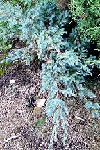 "можжевельник  чешуйчатый<br>""БЛЮ  СВИД"" - juniperus  squamata  <br>""BLUE  SWEDE"""
