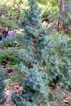 """можжевельник  китайский<br>""""МОНАРХ"""" - juniperus  chinensis    """"MONARCH"""""""