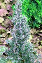 """можжевельник  обыкновенный<br>""""АРНОЛЬД"""" - juniperus  communis    """"ARNOLD"""""""