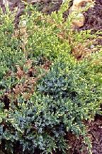 """можжевельник  чешуйчатый<br>""""ХОЛДЖЕР"""" - juniperus  squamata  """"HOLGER"""""""