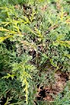"""можжевельник  китайский<br>""""БЛАУВ"""" - juniperus  chinensis  """"BLAAUW"""""""