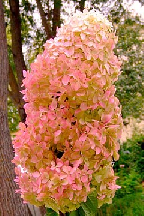 """гортензия  метельчатая  """"ФАНТОМ""""  - hydrangea  paniculata  """"PHANTOM"""""""