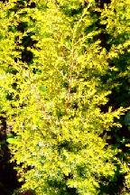 """можжевельник  обыкновенный<br>""""СУЕЦИКА   АУРЕА"""" - juniperus  communis    """"SUECICA   AUREA"""""""