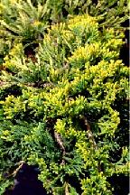 """можжевельник  горизонтальный<br>""""ГОЛДЕН КАРПЕТ"""" - juniperus  horizontalis  """"GOLDEN CARPET"""""""