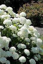 "гортензия  древовидная  ""АННАБЕЛЬ""   - hydrangea  arborescens  ""ANNABELLE"""