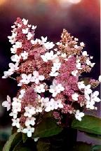 "гортензия  метельчатая  ""КИУШУ"" - hydrangea  paniculata <br> ""KIUSHU"""
