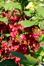 бересклет сахалинский - euonymus  sachalinensis