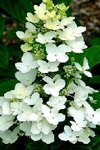 """гортензия  метельчатая  """"УНИК"""" - hydrangea  paniculata<br>""""UNIQUE"""""""