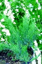 "можжевельник  казацкий<br>""ТАМАРИСЦИ- <br>ФОЛИА"" - juniperus  sabina  ""TAMARISCIFOLIA"""