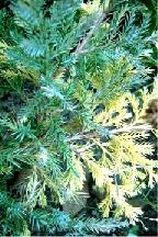 """можжевельник  средний  гибр.<br>""""БЛЮ  ЭНД  ГОЛД"""" - juniperus  х  media    """"BLUE  AND  GOLD"""""""