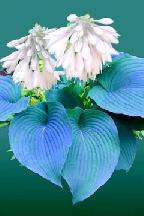 БЛЮ  ЭЙНДЖЕЛ - BLUE  ANGEL