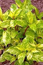 "гортензия  метельчатая  ""ШИКОКУ  ФЛЭШ"" - hydrangea  paniculata  ""SHIKOKU  FLASH"""