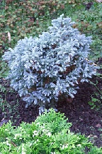 "кипарисовик  горохоплодный<br>""ЛИТЛ  КИН"" - chamaecyparis  pisifera<br>""LITTLE  KEAN"""