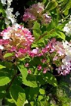 "гортензия  метельчатая  ""ТИКЛЕД  ПИНК"" - hydrangea  paniculata  ""TICKLED  PINK"""