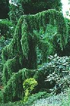 "можжевельник  обыкновенный<br>""ХОРСТМАН"" - juniperus  communis    ""HORSTMAN"""
