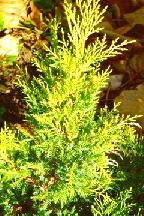 "можжевельник  средний  гибр.<br>""ГОЛД СТАР"" - juniperus  х  media    ""GOLD  STAR"""