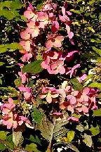 "гортензия  метельчатая  ""ПИНК  ДАЙМОНД""  - hydrangea  paniculata <br>""PINK  DIAMOND"""
