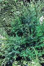 "можжевельник  казацкий<br>""БЛЮ ДАНУБ"" - juniperus  sabina    ""BLUE  DANUBE"""