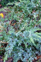 """можжевельник  прибрежный<br>""""ШЛЯГЕР"""" - juniperus  conferta    """"SCHLAGER"""""""