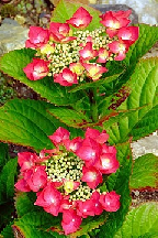 "гортензия  крупнолистная  ""ТЕЛЛЕР  ФАЗАН"" - hydrangea  macrophyla  <br>""TELLER FASAN"""