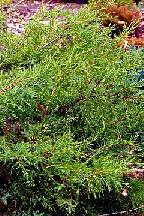 "можжевельник  средний  гибр.<br>""КУРИВАО  ГОЛД"" - juniperus  х  media    ""KURIWAO  GOLD"""